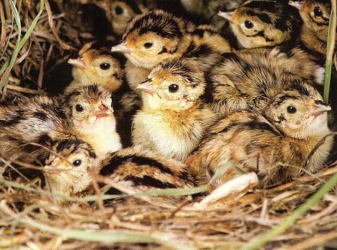 Baby Pheasant Chicks